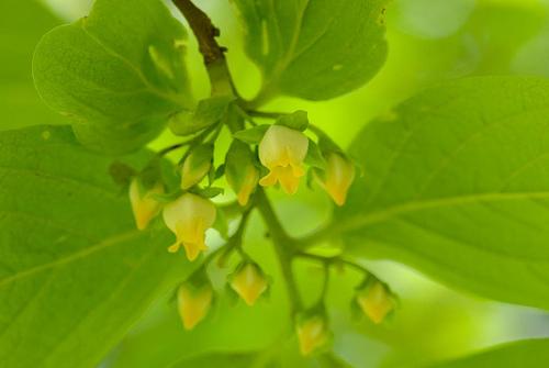 Flores del árbol del caqui, los futuros persimón